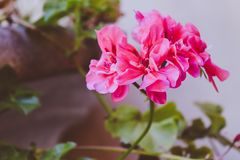 Pink Clustered Flower Stock Photography