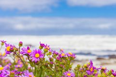 Pink coastal flowers on a beach in Cape Town South Africa. On a cold windy day Royalty Free Stock Photography