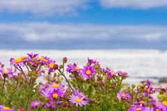 Pink coastal flowers on a beach in Cape Town South Africa stock photo