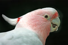 Pink Cockatoo. Profile of an Australian pink Cockatoo bird, eating and isolated on black.  also known as Major Mitchell's Cockatoo or Leadbeater's Cockatoo Royalty Free Stock Images