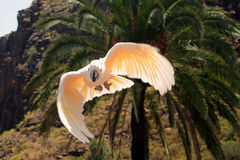 Pink Cockatoo. A pink cockatoo flying against a mountain and tropical palm backdrop Stock Photo