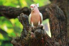 Pink cockatoo. Sitting on the wood royalty free stock images