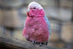 Pink cockatoo portait stock photos