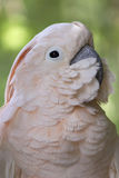 Pink Cockatoo. A portrait of a beautiful pink cockatoo Royalty Free Stock Photo