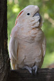 Pink Cockatoo. A portrait of a beautiful pink cockatoo Stock Photo