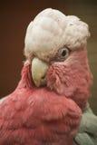 Pink cockatoo royalty free stock photos