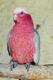 Pink cockatoo. A pink cockatoo in the zoo Royalty Free Stock Photography