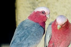 Pink cockatoos. A pair of pink cockatoos in the zoo Royalty Free Stock Photos