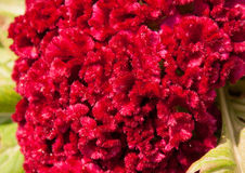 Pink Cockscomb flower Stock Photography