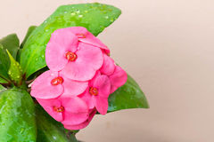 Pink color crown of thorns flowers Royalty Free Stock Image