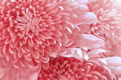 Pink color daisy Royalty Free Stock Photography