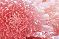 Pink color daisy Royalty Free Stock Photos
