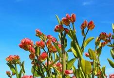 Emerald-Bird Cactus, Slipper Plant, Lady`s Slipper. Pink color Emerald-Bird Cactus, also called Slipper Plant or Lady`s Slipper, are blooming under blue sky Stock Photos