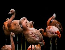 Pink color flamingo birds standing and relaxing in group royalty free stock photography