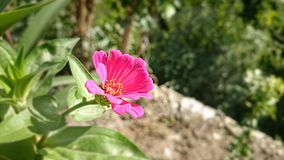 Pink color flower Stock Photo
