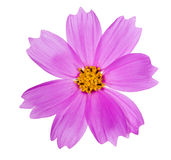 Pink color flower with yellow center Stock Images