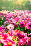 Pink color flowers in vintage style light. Stock Photography