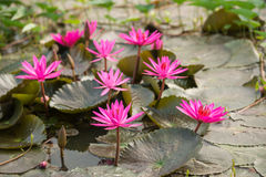 Pink color fresh lotus blossom Royalty Free Stock Image