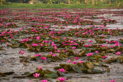 Pink color fresh lotus flower blossom Stock Image