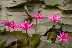 Pink color fresh lotus flower blossom Stock Photos