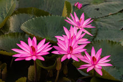 Pink color fresh lotus flower blossom Stock Images