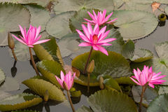 Pink color fresh lotus flower blossom Royalty Free Stock Images
