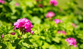 Pink color geranium flower and leaves against blur green nature  background. Closeup view. Bright pink color geranium flower and leaves against blur green nature royalty free stock photos