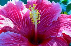 Pink color Hibiscus flower, Rose Mallow flower. Beautiful large purple violet color flower of Rose mallow. Hibiscus is a genus of flowering plants in the mallow stock photos