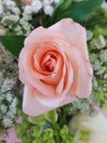 Light pink flower. Pink, color, light, gift, petal, rose, flower Stock Image
