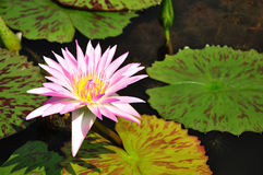 Pink color lotus blooming Royalty Free Stock Photography