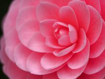 Otometsubaki or Tsubaki flower Ccamellia Japonica royalty free stock images