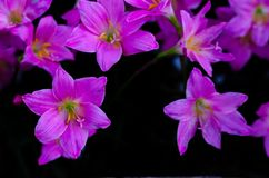 Pink color Rain Lily flower blooming in rain season on dark background with space for text stock photo