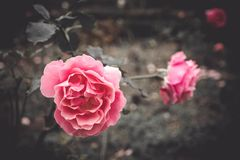 Pink color roses in garden, blurred background. selective focus. Valentine concept. Vintage style.  Royalty Free Stock Images