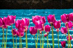Pink color tulip flowers bloom. In the garden stock photo