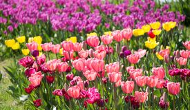 Pink color tulip flowers bloom. In the garden stock photography