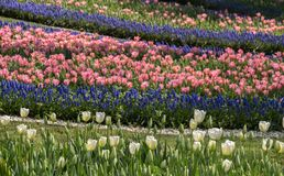 Pink color tulip flowers bloom. In the garden royalty free stock images