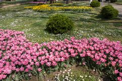 Pink color tulip flowers bloom. In the garden royalty free stock photo