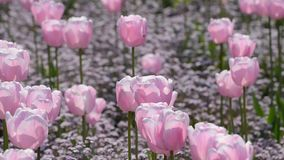 Pink color tulips stock video