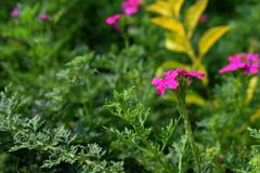 Pink colored attractive flowers in the garden with green leaves in the background. Picture of Pink colored attractive flowers in the garden with green leaves in stock photo