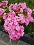 Rosa blumen. Pink colored flower pot stock photography