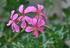Pink colored  Hanging Pelargonium - Pelargonium Pe Stock Photo