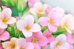 Pink colored kalanchoe flowers Royalty Free Stock Photo