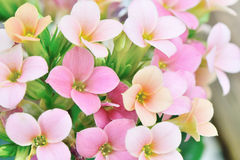 Pink colored kalanchoe flowers Stock Images