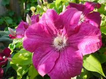 Pink colored large flower of Clematis cultivar in an urban garden. Detailed view of large flowered Clematis cultivar with pink color in a backyard garden royalty free stock images