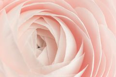 Free Pink Colored Peony Or Buttercup Flower Background Royalty Free Stock Images - 151662789