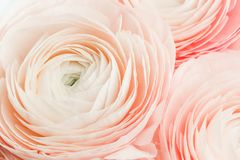 Free Pink Colored Peony Or Buttercup Flowers Full Frame Royalty Free Stock Photography - 150225187