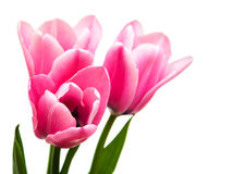 Pink colored tulip flowers. On a white background royalty free stock image