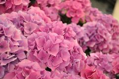 Pink colorful fresh beautiful blossing hydrangea bodensee royalty free stock photography