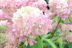 Pink colors Hydrangea Limelight autumn Royalty Free Stock Images