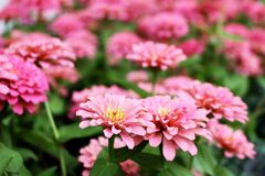 Pink Colors of Zinnia Elegans Flowers bloom on green leaves background stock photos
